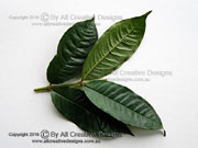 Wing-stemmed Cherry Syzygium alatormulum Leaves