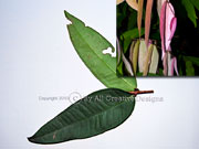 Leaves Powderpuff  Lilly Pilly Syzygium wilsonii ssp. wilsonii