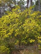 Narrow-leaved Wattle Acacia linearifolia
