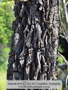 Bark of Black She-oak, Allocasuarina littoralis
