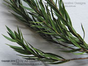 Black Tea-Tree Melaleuca bracteata Leaves