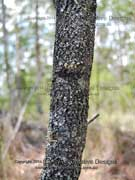 Broad-leaved Geebung Bark Persoonia levis