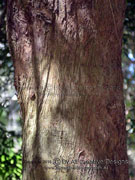 Brown Pine Podocarpus elatus Bark