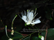 Flower Brush Caper Berry Capparis arborea