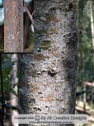 Brush Kurrajong Commersonia fraseri Bark