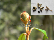 Brush Wedding Bush Fruit Ricinocarpos speciosus