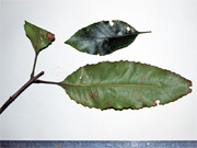 Crabapple Schizomeria ovata Leaves