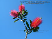 Callistemon citrinus Flower
