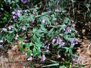 Flower Prostanthera incisa