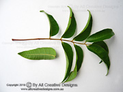Deep Yellowwood Rhodosphaera rhodanthema Leaf