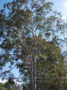 Eucalyptus citriodora Lemon-scented Gum