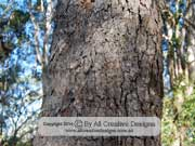 Corymbia gummifera Red Bloodwood Tree Bark