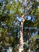 Eucalyptus eugenioides Thin-leaved Stringybark