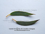 Snow Gum Eucalyptus pauciflora Leaves