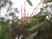 Fruit of Grevillea decora