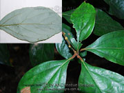 White Bolly Gum Neolitsea dealbata Leaves