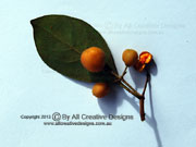 Rusty Pittosporum ferrugineum Fruit and Leaf