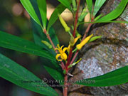 Flower Tall Geebung Persoonia media