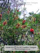 Wallum Bottlebrush Callistemon pachyphyllus