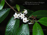 Flower Thin-leaved Gardenia Atractocarpus chartaceus