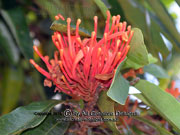 Flower Tree Waratah (QLD) Alloxylon flammeum