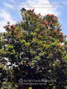 Tree Waratah (QLD) Alloxylon flammeum