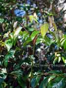 Foliage Umbrella Cheese Tree Glochidion sumatranum