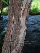 Weeping Tea-tree Leptospermum brachyandrum Bark