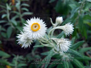 White Paper Daisy Coronidium elatum Flower