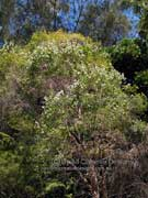 White's Tea-Tree Leptospermum whitei