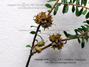 Wild May Kunzea flavescens Fruit