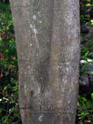 Willi Willi Laurel Cryptocarya williwilliana Bark