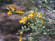 Winged Broom Pea Flower Jacksonia scoparia