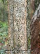 Yellow Hollywood Vitex lignum-vitae Bark