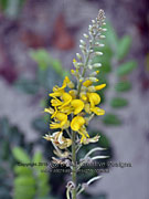 Flower Sophora tomentosa Yellow Necklacepod
