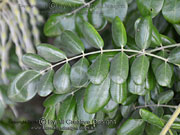 Sophora tomentosa Yellow Necklacepod Leaf